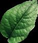 leaf1